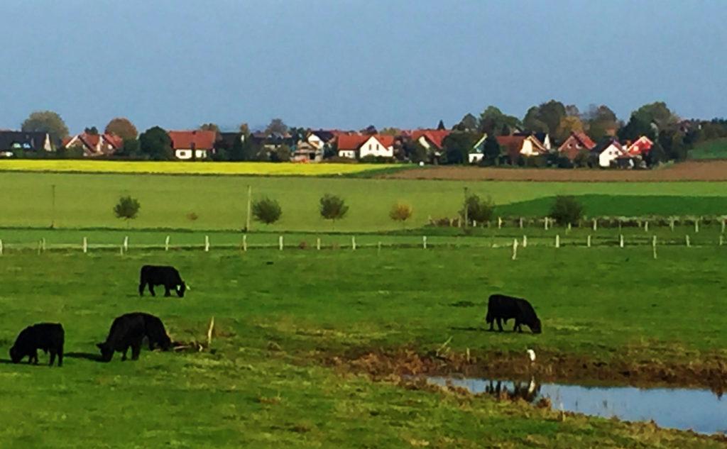 Weide, schwarze Rinder,